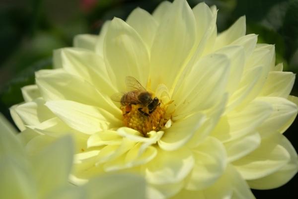 辛勤的蜜蜂
