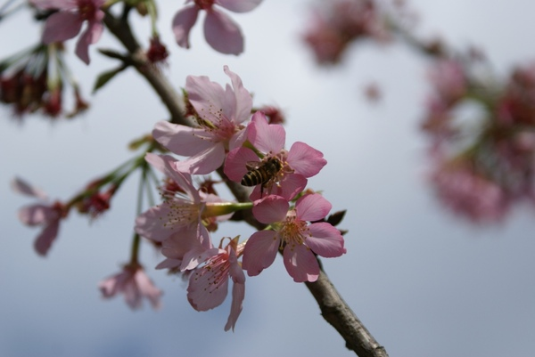 連義大利蜂都愛櫻花
