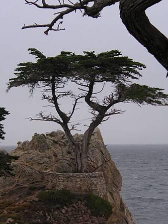 250年長在石頭上的老樹