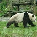 下山又經過貓熊館,巧遇團團睡醒出來玩