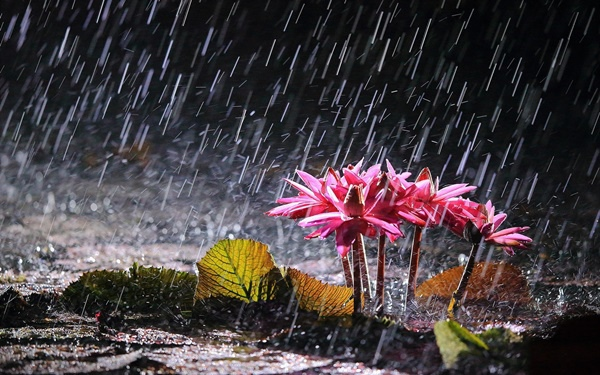 pink-water-lilies-in-heavy-rain-1080P-wallpaper.jpg
