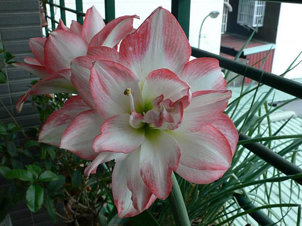 Blossom Peacock 千禧-4.JPG