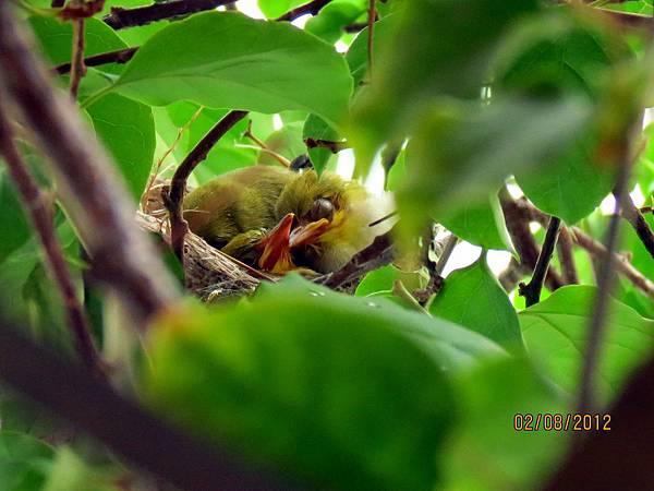 民國101.07-08月陽台九重葛綠繡眼築巢孵育 (3)