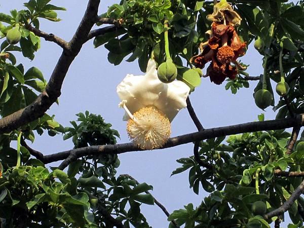 107.07.09板橋溪北公園奇特的樹 (2).jpg