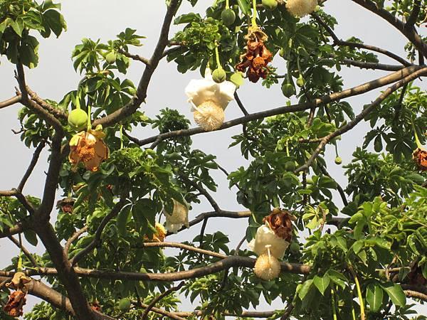 107.07.09板橋溪北公園奇特的樹 (3).jpg