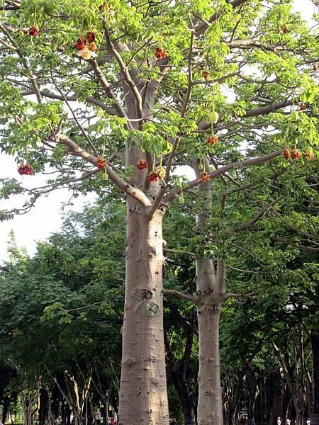 107.07.09板橋溪北公園奇特的樹 (7).jpg