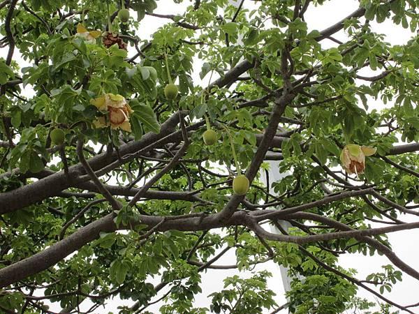 107.07.09板橋溪北公園奇特的樹 (8).jpg
