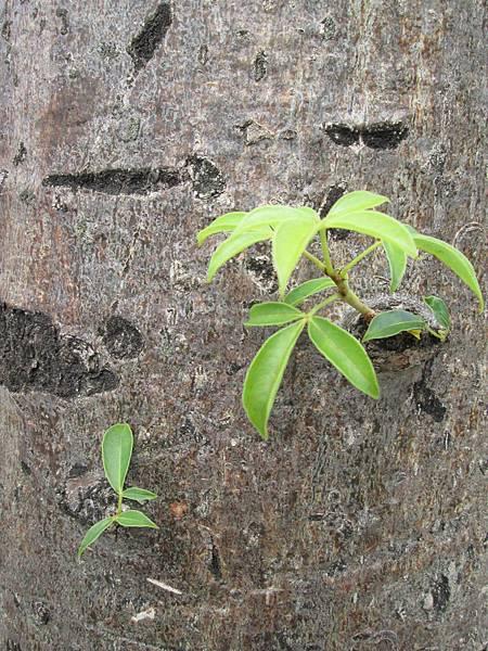 107.07.09板橋溪北公園奇特的樹 (9).jpg
