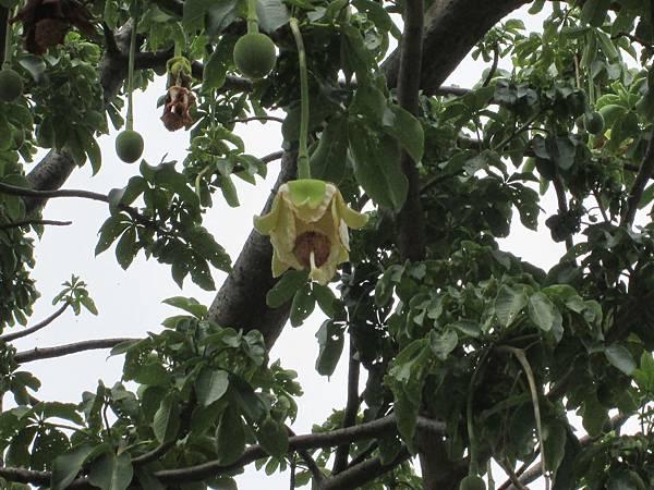107.07.09板橋溪北公園奇特的樹 (12).jpg