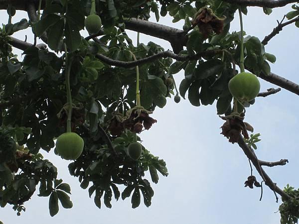 107.07.09板橋溪北公園奇特的樹 (13).jpg