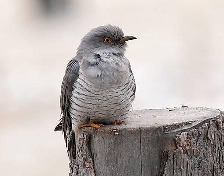 杜鵑鳥(布榖鳥)