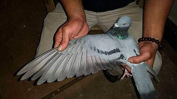 6002-灰-母-翅膀.jpg
