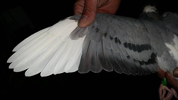2015-秋季戰將26翅膀.jpg
