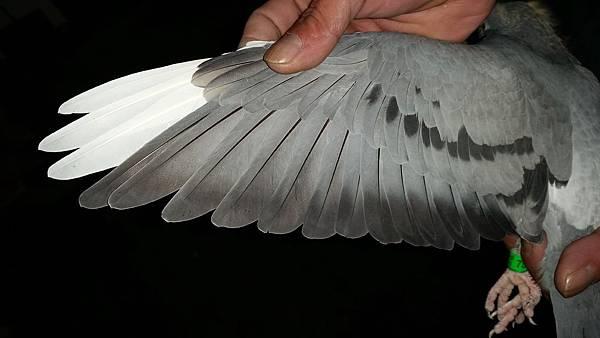 2015-秋季戰將27翅膀.jpg