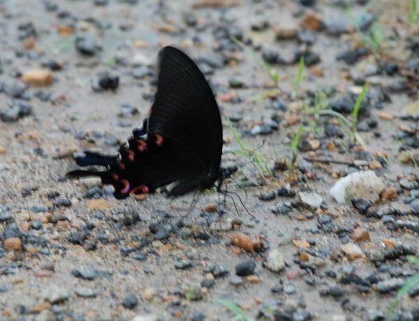 漂亮的鳳蝶
