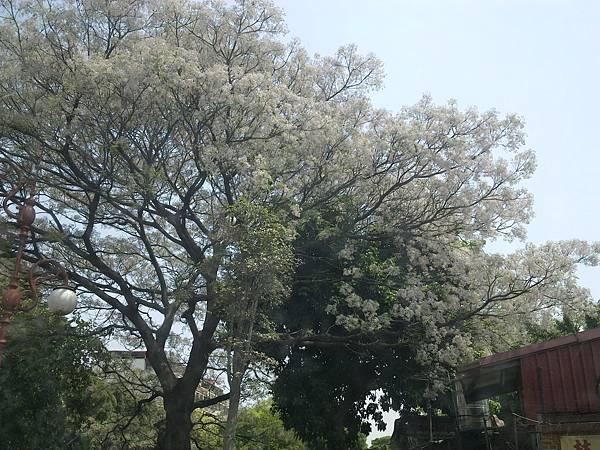 2012.4林家花園流蘇花