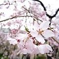 201104 (1) 京都櫻花