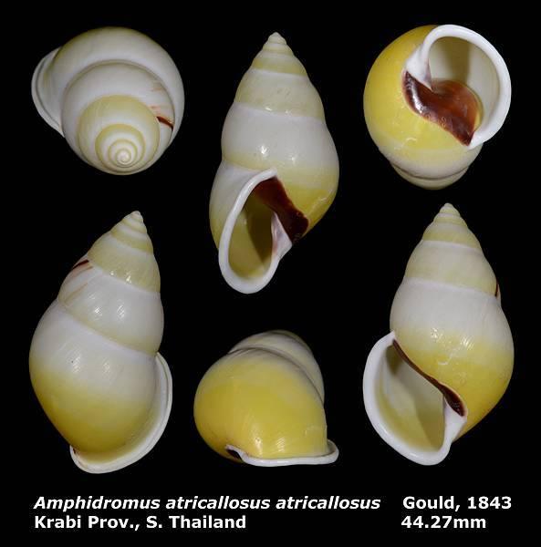 Amphidromus atricallosus atricallosus 44.27mm
