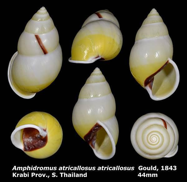 Amphidromus atricallosus atricallosus 44mm