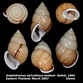 Amphidromus atricallosus laidlawi 53mm 00.jpg