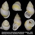 Amphidromus atricallosus perakensis 46.65mm 00.jpg