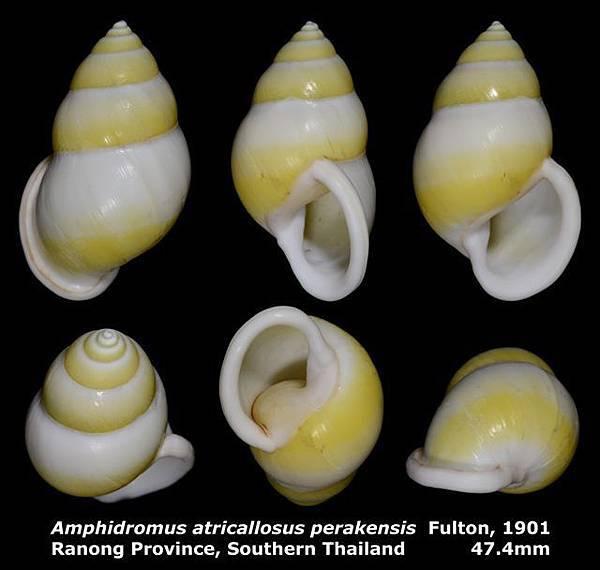 Amphidromus atricallosus perakensis 47.4mm 00.jpg