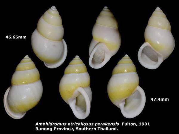 Amphidromus atricallosus perakensis 46.65 & 47.4mm 00.jpg