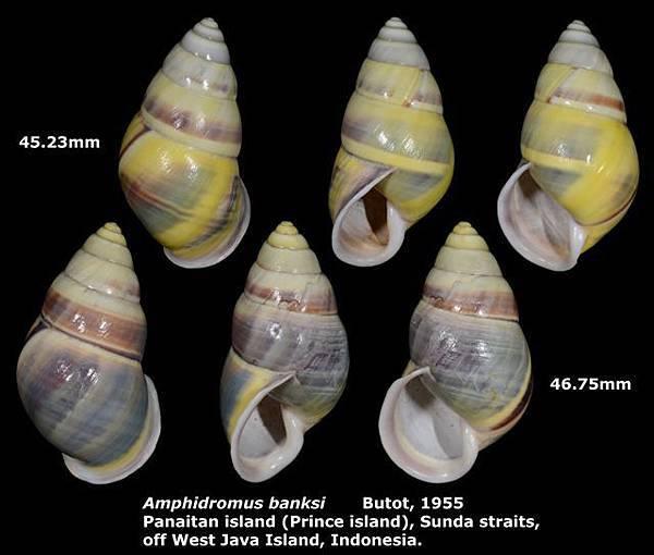 Amphidromus banksi 45.23 & 46.75mm 00.jpg