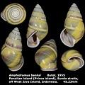 Amphidromus banksi 45.23mm 00.jpg