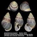 Amphidromus banksi 46.75mm 00.jpg