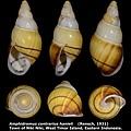 Amphidromus contrarius hanieli 34.69mm 00.jpg