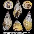 Amphidromus contrarius nikiensis 32.16mm 00.jpg