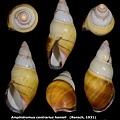 Amphidromus contrarius hanieli 38.68mm 00.jpg