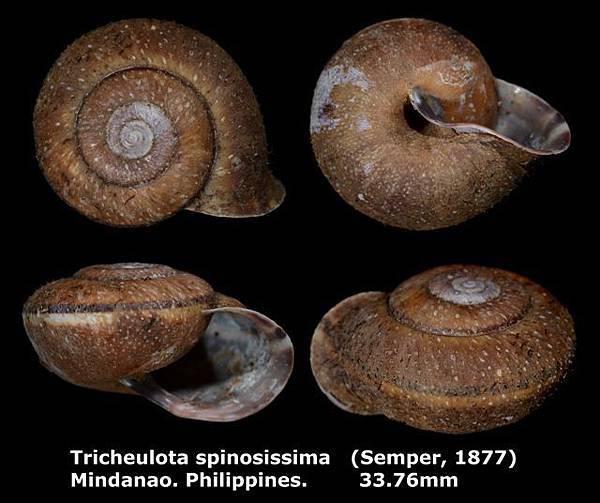 Tricheulota spinosissima 33.76mm 00.jpg