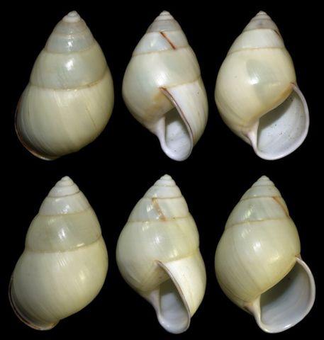 Amphidromus albulus 40.32-42.36mm 00.jpg