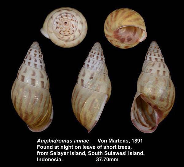 Amphidromus annae 37.70mm 00.jpg