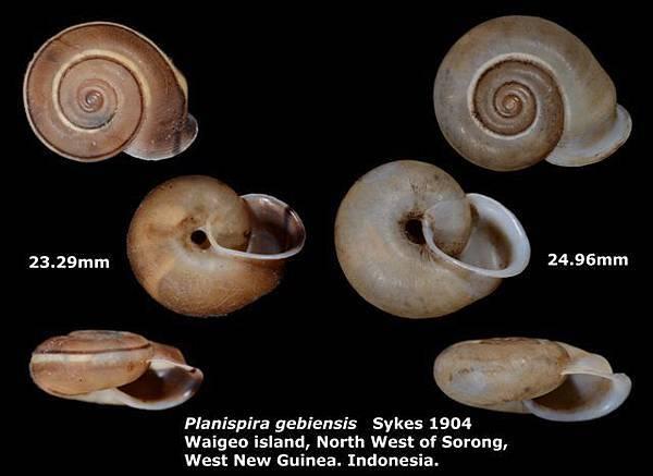 Planispira gebiensis 23.29-24.96mm 00.jpg