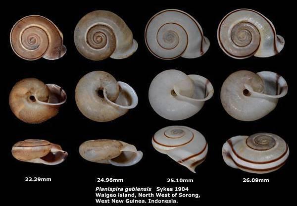 Planispira gebiensis 23.29-26.09mm 00.jpg