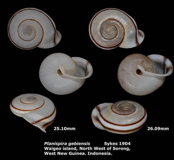 Planispira gebiensis 25.10-26.09mm 00.jpg
