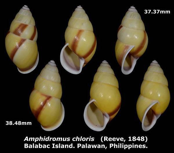 Amphidromus chloris 37.37 & 38.48mm 00.jpg