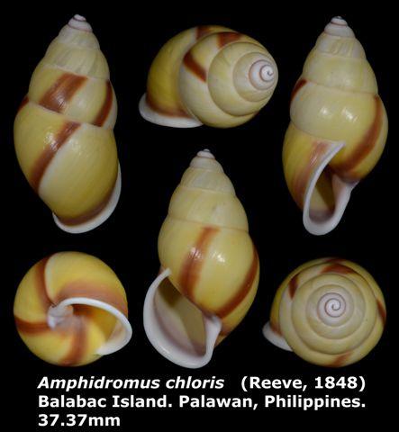 Amphidromus chloris 37.37mm 00.jpg