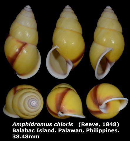 Amphidromus chloris 38.48mm 00.jpg