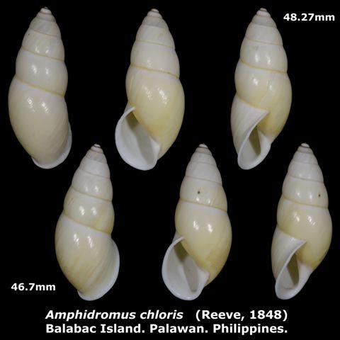 Amphidromus chloris 46.7 & 48.27mm 00.jpg