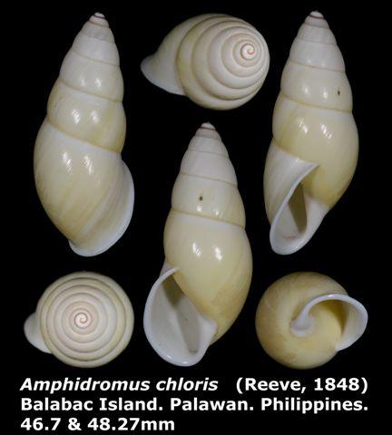 Amphidromus chloris 46.7mm 00.jpg