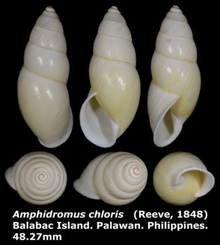 Amphidromus chloris 48.27mm 00.jpg
