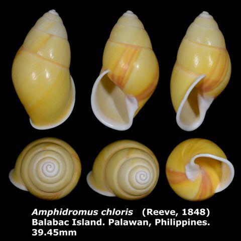 Amphidromus chloris 39.45mm 00.jpg