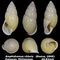 Amphidromus chloris 40.82mm 00.jpg