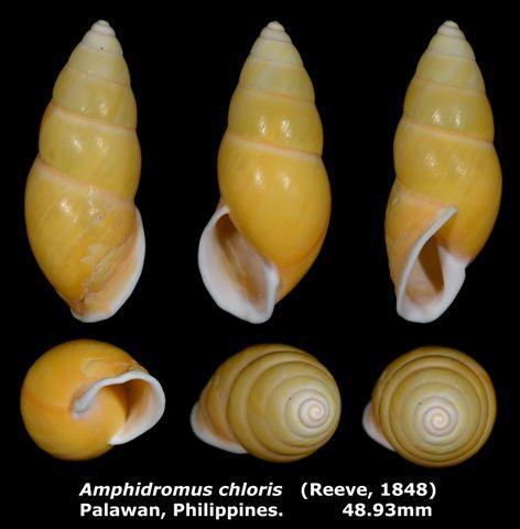 Amphidromus chloris 48.93mm 00.jpg