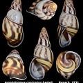 Amphidromus contrarius hanieli 35.00mm 00.jpg