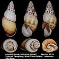 Amphidromus contrarius hanieli 38.62mm 00.jpg